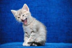 Gritos do gatinho em um fundo azul Fotografia de Stock