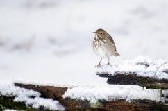 Grive d'ermite d'arrière-cour dans la neige Photographie stock libre de droits