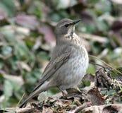 Grive de Belobrova d'oiseau chanteur Photographie stock libre de droits