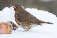Grive de chanson avec des pommes en tempête de neige de l'hiver Photo stock