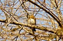 Grive de chanson sur une branche d'un arbre. Image libre de droits
