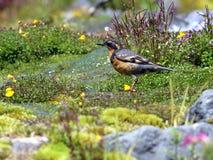 Grive diverse dans le pré alpin Photographie stock