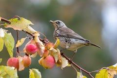Grive litorne alimentant dans un arbre de pomme sauvage photos stock
