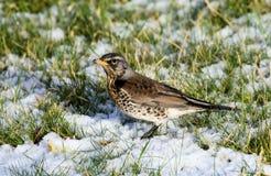Grive litorne en hiver Images libres de droits