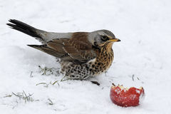 Grive litorne, pilaris de Turdus photo stock