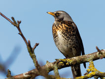 Grive litorne - pilaris de Turdus Photo stock