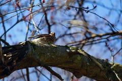 Grive (pilaris de Turdus) se reposant sur un arbre Photo stock