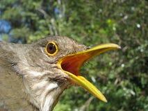 grive Rufous-gonflée Photo libre de droits