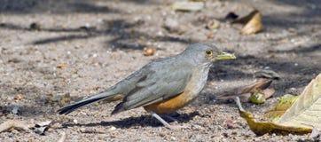 grive Rufous-gonflée, symbole d'oiseau du Brésil Photos stock