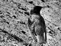 Grive sauvage d'oiseau de forêt sur l'image noire et blanche Photo libre de droits