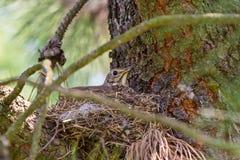 Grive se reposant sur son nid Images libres de droits