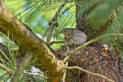 Grive se reposant sur son nid sur des branches Images stock