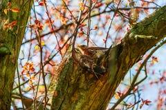 Grive se reposant sur un nid Photographie stock