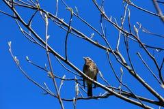 Grive se reposant sur une branche contre le ciel bleu Photographie stock libre de droits