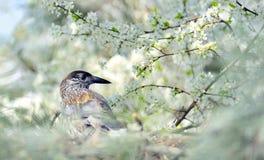 Grive sur le branchement (Turdus Obscurus) Photographie stock