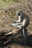 grivet ее царапать обезьяны ноги Стоковая Фотография