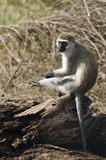 Grivet  monkey scratching her leg Stock Photography