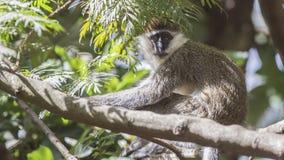 Grivet Monkey on Tree. Grivet monkey, Chlorocebus aethiops,sits on tree trunk looking around in Wondo Genet, Ethiopia royalty free stock photos