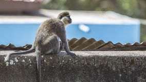 Grivet Monkey on Wall. Grivet monkey, Chlorocebus aethiops,sits on concrete wall looking around in Wondo Genet, Ethiopia royalty free stock image