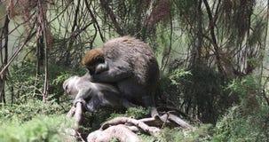 Grivet Monkeys on Tree. Grivet monkeys, Chlorocebus aethiops,sit on tree trunk and picks louse from her baby body in Wondo Genet, Ethiopia stock video