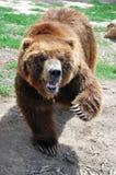 grizly熊 库存照片