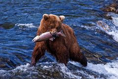 Grizly Bär bei Alaska Stockbild
