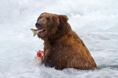 Grizly Bear at Alaska Royalty Free Stock Photography