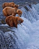 Grizly björn på Alaska Royaltyfria Foton