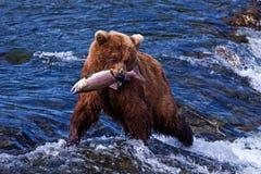 Grizly björn på Alaska Fotografering för Bildbyråer