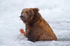 Grizly draagt in Alaska Stock Fotografie