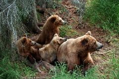 Grizly draagt in Alaska Stock Afbeelding