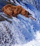 Grizly niedźwiedź przy Alaska Fotografia Royalty Free