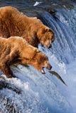 Grizly niedźwiedź przy Alaska Zdjęcie Royalty Free