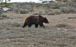 Grizz. Ly bear on an afternoon stroll in Grand Teton National Park Royalty Free Stock Photo