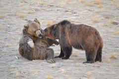 Grizz; oso de y Foto de archivo