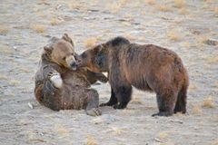 Grizz; urso de y foto de stock