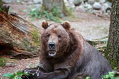 Grizzle Brown Bear Eating and Sitting Royalty Free Stock Photos
