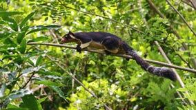 Grizzled gigantyczna wiewiórka od Sri Lanka Obrazy Stock