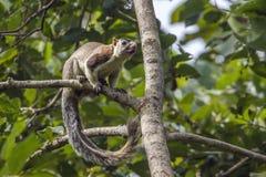 Grizzled gigantyczna wiewiórka w Mynneriya parku narodowym, Sri Lanka Obrazy Stock
