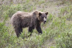 Grizzled Grizzly. Old brown bear in the Canadian Yukon in summer Royalty Free Stock Photography