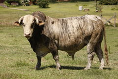 Grizzled old bull. A grizzled old bull glaring at the camera Stock Images