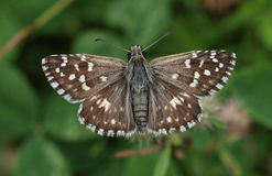 Grizzled Skipper stock photo