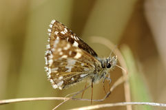 Grizzled skipper, Stock Images
