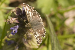 Grizzled Skipper Butterfly Royalty Free Stock Photos