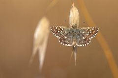 Grizzled Skipper Butterfly (Pyrgus malvae) Resting on Grass Spik Stock Images