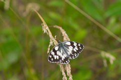 Grizzled skipper butterfly. Sitting on a summer wild plant Stock Images