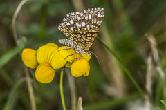 Grizzled skipper (Pyrgus malvae) Royalty Free Stock Photos