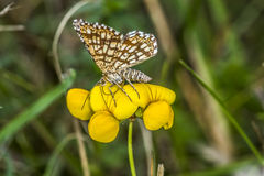 Grizzled skipper (Pyrgus malvae) Stock Image