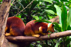 Grizzled tree kangaroo Royalty Free Stock Images