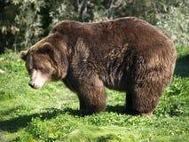 熊grizzley 图库摄影